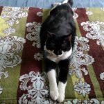 Benny the Tuxedo Cat-Savvy-Writer